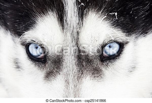 Nahaufnahme von husky dogblauen Augen - csp25141866