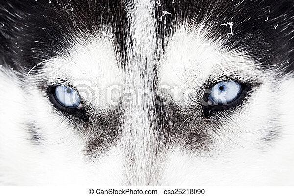 Nahaufnahme von husky dogblauen Augen - csp25218090