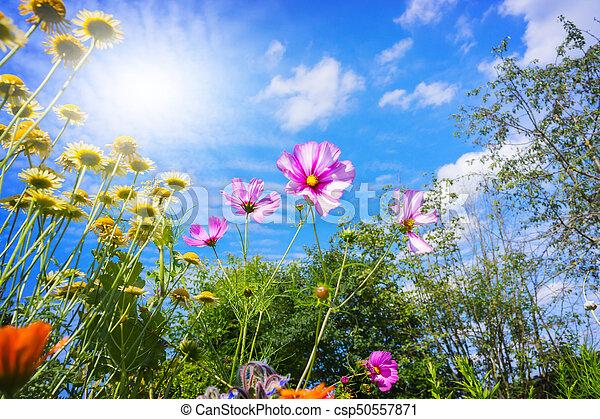 blaues, sommer, blumen, himmelsgewölbe, bunte - csp50557871