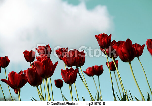 blaues, tulpen, himmelsgewölbe, rotes , feld - csp3197018