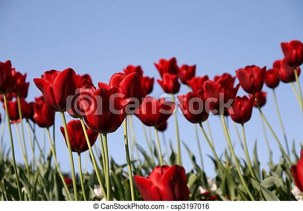 blaues, tulpen, himmelsgewölbe, rotes , feld - csp3197016