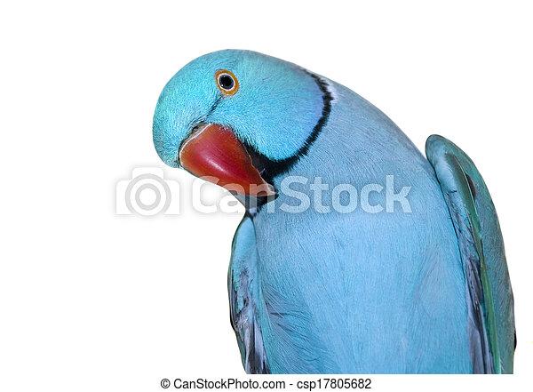 Goede Blauwe , ring-necked, papegaai. Blauwe , papegaai, ring-necked AR-31