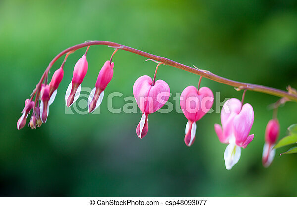 Pink bleeding heart flower hanging picture search photo clipart bleeding heart csp48093077 mightylinksfo