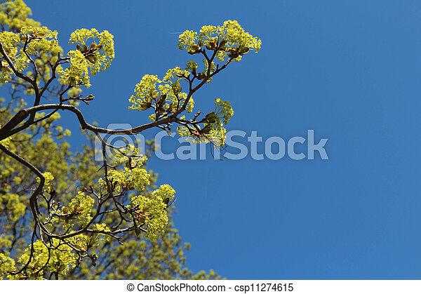 bleu, arbre, ciel, contre, fleurs, érable - csp11274615
