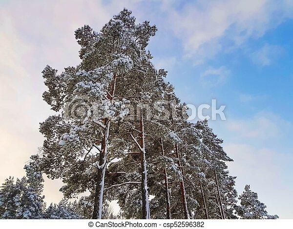 Bleu Couronne Arbre Neige Pin Surprenant Fond Vue Ciel