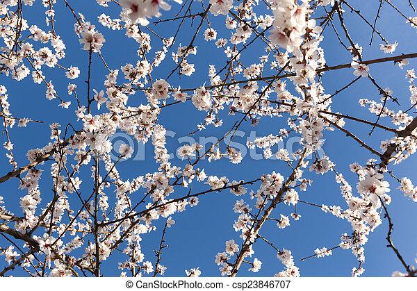 bleu fleurit, amandier, fond - csp23846707
