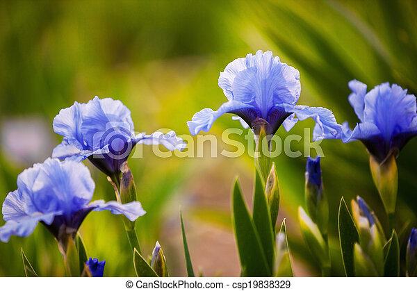 bleu, iris, fleurs, jardin, croissant - csp19838329