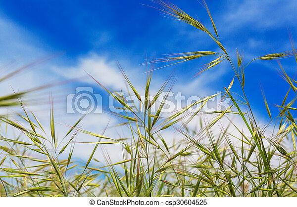 bleu, naturel, printemps, champ ciel, fond, herbe blé, oreilles - csp30604525