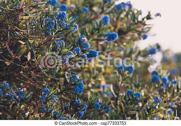 """bleu, pacifique, fleur, """"ceanothus"""", fleurs, arbre - csp77333753"""