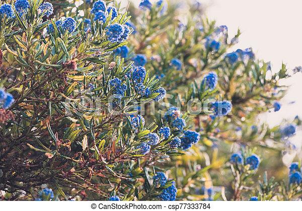 """bleu, pacifique, fleur, """"ceanothus"""", fleurs, arbre - csp77333784"""