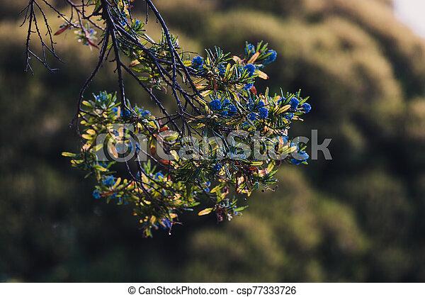 """bleu, pacifique, fleur, """"ceanothus"""", fleurs, arbre - csp77333726"""