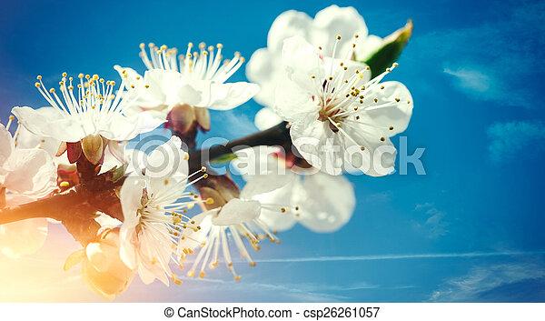 bleu, printemps, arrière-plans, contre, abricot, floral, fleurs, skie - csp26261057