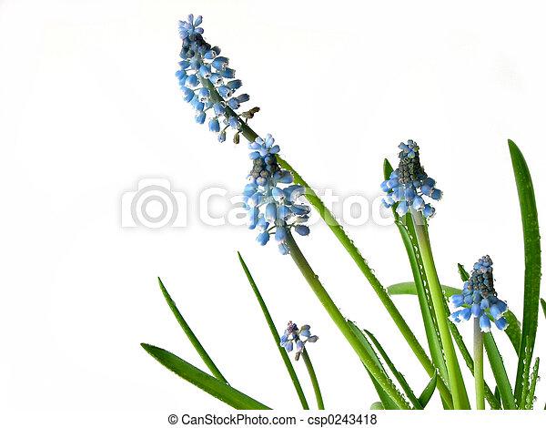 bleu, printemps, fleurs blanches - csp0243418
