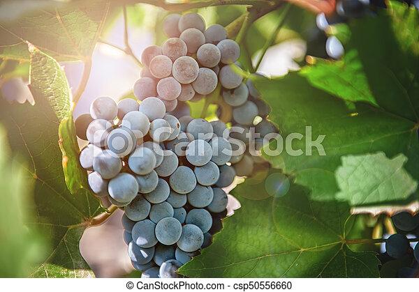 bleu, raisins, mûre, automne, vigne, ensoleillé, branche, pendre, jour, tas - csp50556660