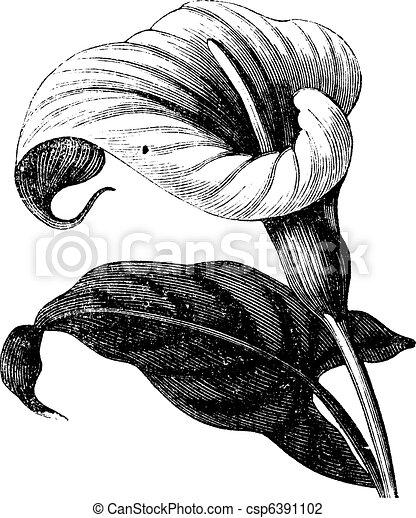 bloem, aethiopica, ouderwetse , zantedeschia, richardia, africana, of, engraving. - csp6391102
