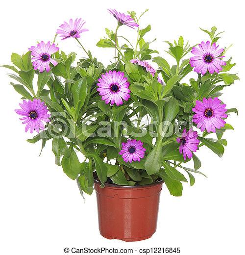 bloem, afrikaan, pot, viooltje, madeliefje, (dimorphoteca, osteospermum) - csp12216845