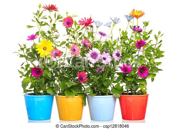 bloem, kleurrijke, pot, afrikaans madeliefje, (dimorphoteca) - csp12818046
