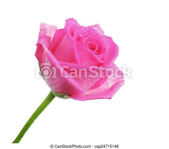 bloem, mooi, roos - csp24715148