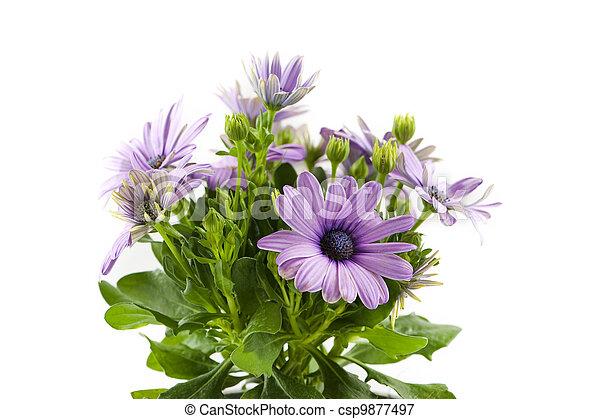 bloem, osteospermum - csp9877497