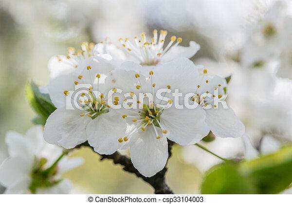blommig, körsbär, blomningen, mjuk, bakgrund - csp33104003