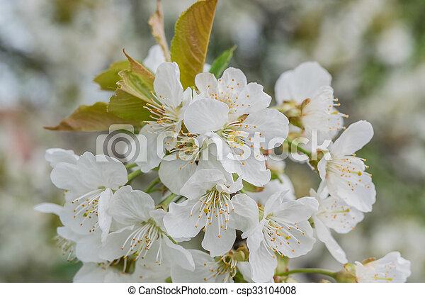 blommig, körsbär, blomningen, mjuk, bakgrund - csp33104008