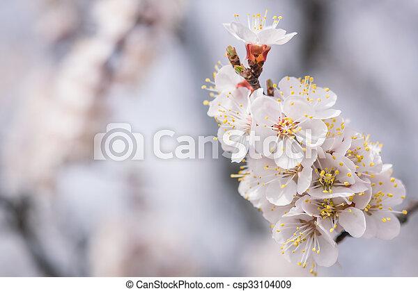 blommig, körsbär, blomningen, mjuk, bakgrund - csp33104009