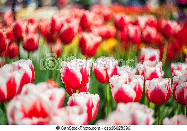 blommig, tulpan, mjuk, bakgrund - csp36628399
