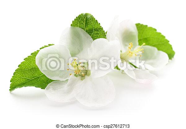 blomningen, äpple - csp27612713