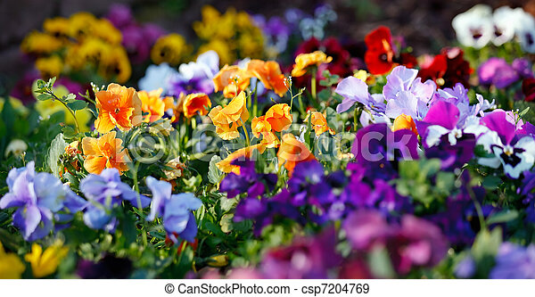 blomningen, flerfärgad, violett - csp7204769