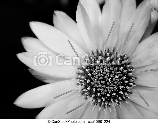 blomst, black-and-white - csp10981224