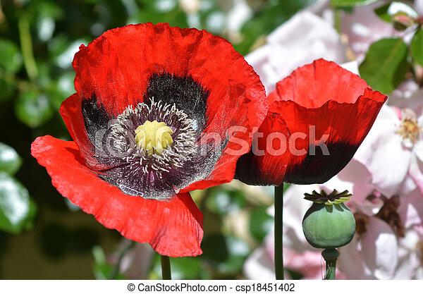 Blomst, opium. Blomster, opium, have, voks stock fotografering - Søg ...