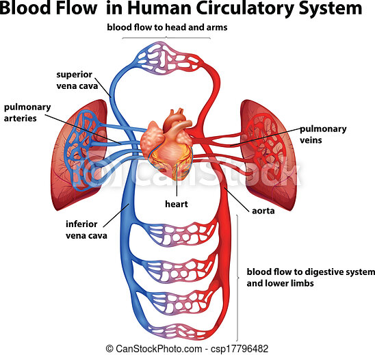 human circulatory system diagram illustration of the blood flow in human circulatory system on a  blood flow in human circulatory system
