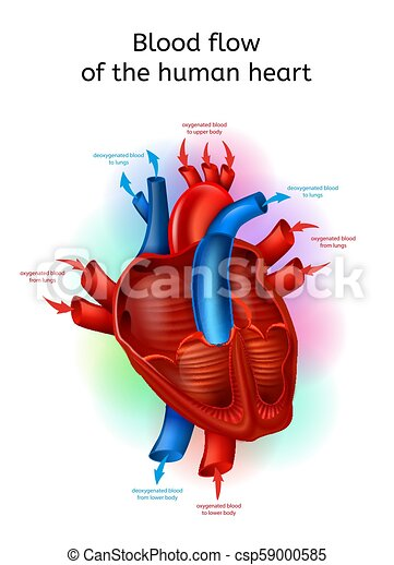 Blood flow in human heart realistic vector scheme blood flow in blood flow in human heart realistic vector scheme ccuart Image collections