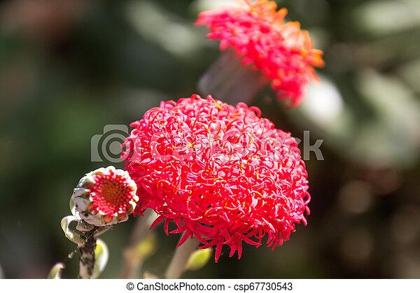 blood lily in a garden - csp67730543