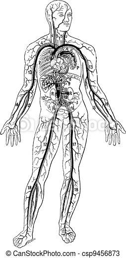 Blood vessels, vintage engraving. - csp9456873