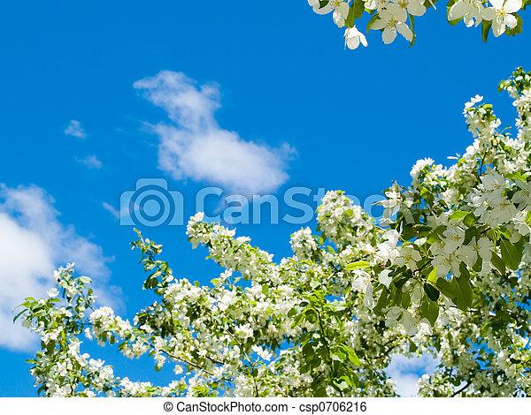 blooming apple against blue sky - csp0706216