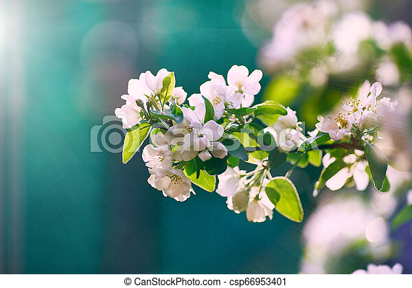 blooming apple tree in the sun on a blue background - csp66953401