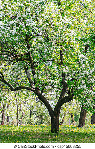 Blooming apple trees with white flowers in garden blooming apple blooming apple trees with white flowers in garden csp45883255 mightylinksfo