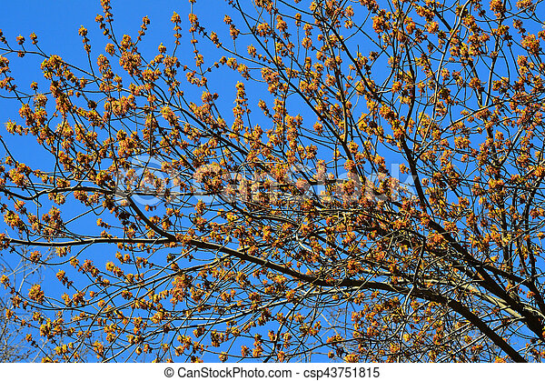 Blooming ash-leaved or american maple (Acer negundo) - csp43751815
