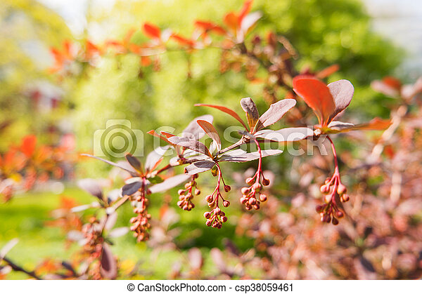 Blooming berberis ottawensis deciduous and evergreen shrub bright blooming berberis ottawensis deciduous and evergreen shrub bright yellow flowers natural spring background mightylinksfo