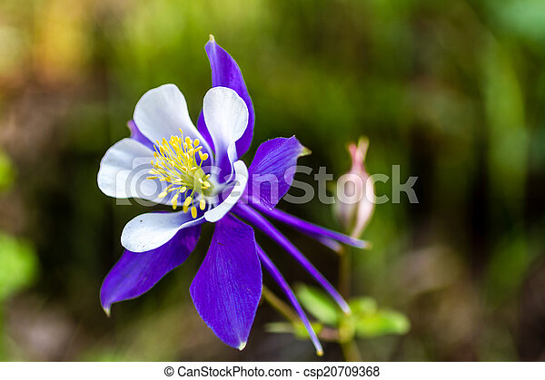 Blooming Blue Columbine Flowers Side View Of Blue Columbine