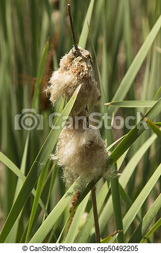 Blooming Cattail - csp50492205