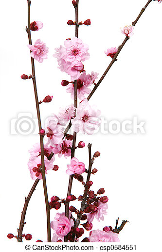 Blooming Cherry Blossoms - csp0584551