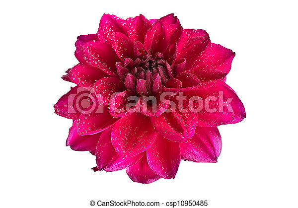 blooming dahlia flower on white background - csp10950485