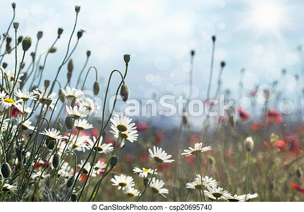 blooming daisies and poppies - csp20695740