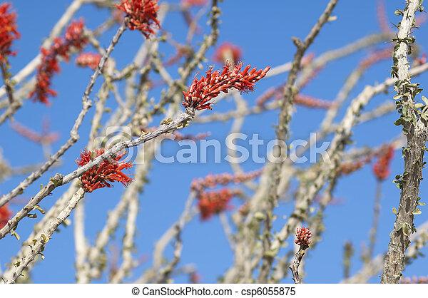Blooming Desert Plant Ocotillo in Anza Borrego Desert, California - csp6055875