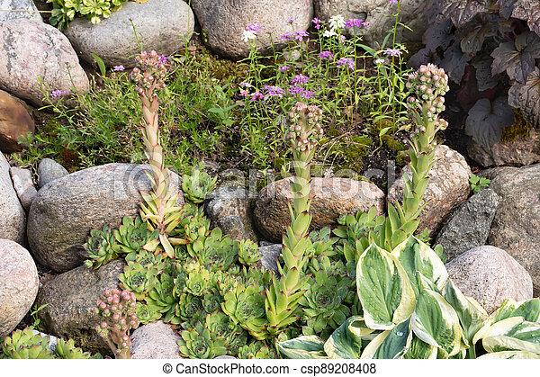 Blooming evergreen groundcover plant Sempervivum known as Houseleek in rockery - csp89208408