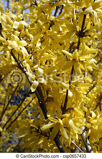 Blooming Forsythia Bushes In Spring Vibrant Yellow Blossom Of