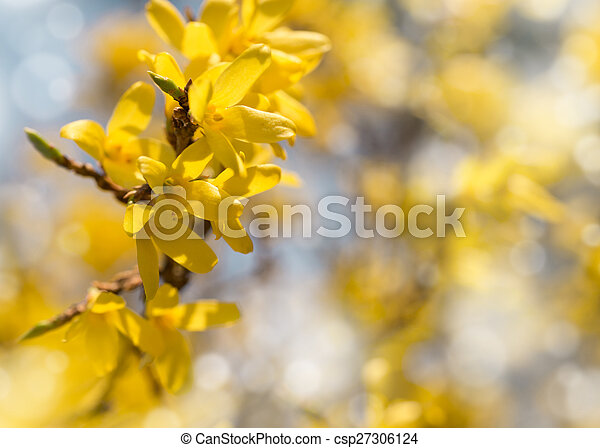 Blooming Forsythia Spring Background With Yellow Flowers Tree