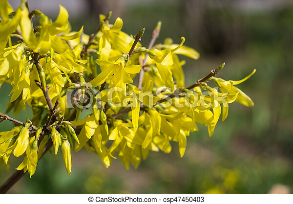 Blooming in garden bush forsythia with yellow flowers blooming in blooming in garden bush forsythia with yellow flowers csp47450403 mightylinksfo